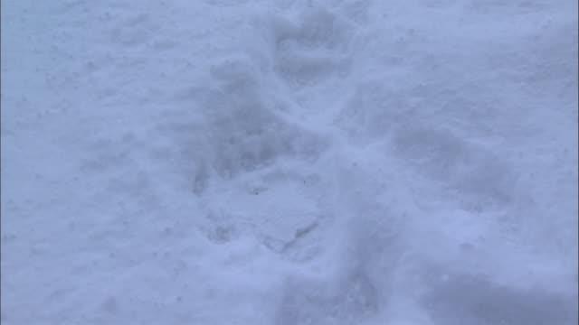 foot print of brown bear in hokkaido - paw print stock videos & royalty-free footage