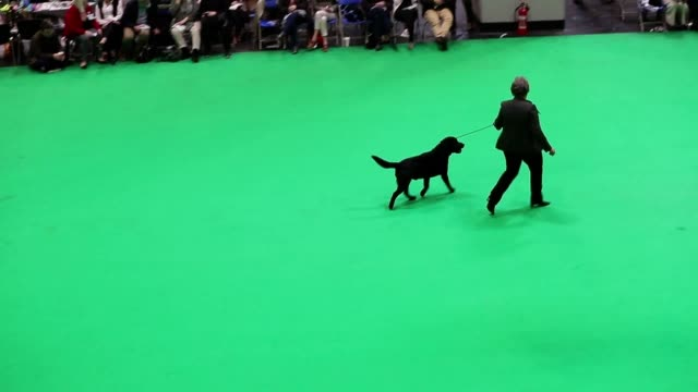 footage from the last day at the 2018 crufts one of the largest dog shows in the world at the nec in birmingham - crufts hundezuchtschau stock-videos und b-roll-filmmaterial