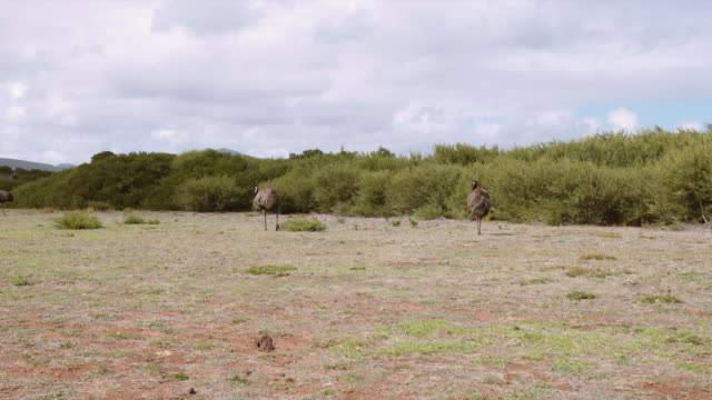 4K footage of 2 Emus in the wild, in Wilson Promontory, Victoria, Australia