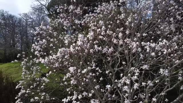 footage of a blooming magnolia tree next to the maze at the national trust's glendurgan garden in cornwall. the national trust is urging britons to... - national trust video stock e b–roll