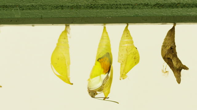 4K footage of a butterfly emerging from their chrysalis at the Sensational Butterflies exhibit
