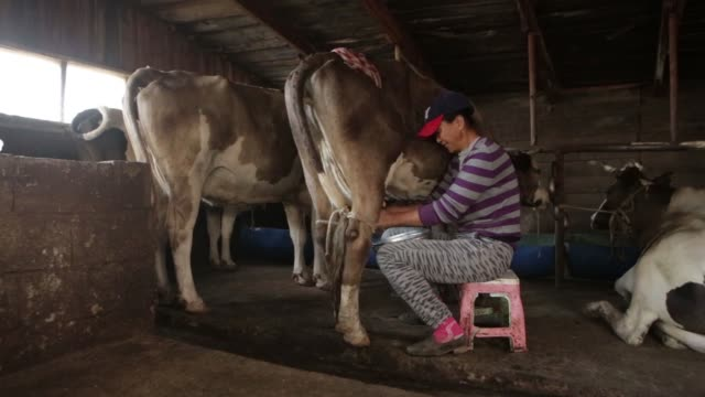 Footage of a cow being milked by hand in Baruun Turuu Ulaanbaatar Mongolia on August 13 2017 Photographer Taylor Weidman Shots wide shot of ddairy...