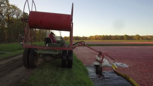 footage of a cranberry bog as farmers collect cranberries into dividers at cutler cranberry in camp douglas, wisconsin on wednesday, oct. 18, 2017.... - cranberry stock videos & royalty-free footage