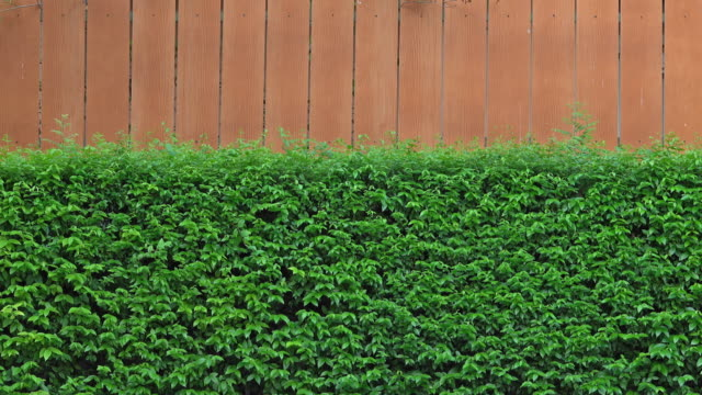4k footage of a green bush wall - barriera video stock e b–roll