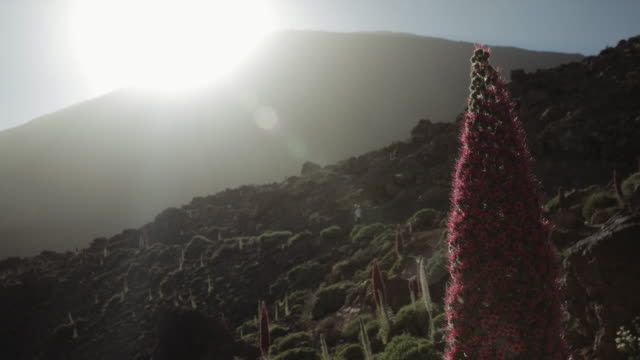 4K Footage of a landscape full of tajinaste flowers and the volcano el Teide, tenerife, Spain