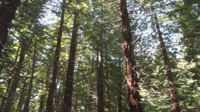 vídeos y material grabado en eventos de stock de imágenes 4k de un bosque de secuoyas - secoya rojo
