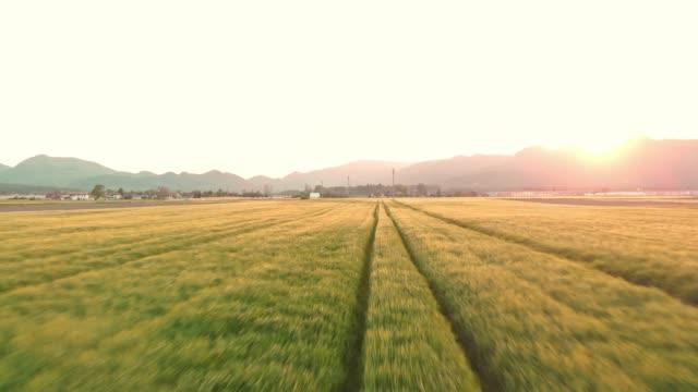 stockvideo's en b-roll-footage met beeldmateriaal van een tarwe veld bij zonsondergang - volkorentarwe