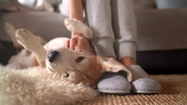 4K UHDTV footage of Beagle dog female owner caress stroking her pet lying on the back on natural stroking dog on the floor and enjoying the warm home atmosphere.