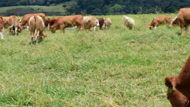 Footage of cattle grazing in a meadow at a Cattle Breeding Farm in Mengatas West Sumatra Indonesia on Thursday July 14 2016 Shots pan left of cattle...