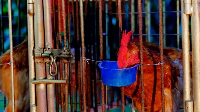 footage of Chicken Farm