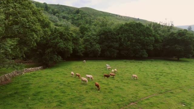 vídeos y material grabado en eventos de stock de 4k imágenes de vacas en un campo verde - carne de vaca
