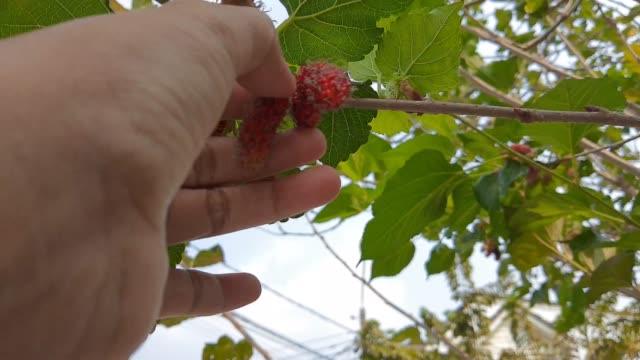 vídeos y material grabado en eventos de stock de imágenes de granjero recogiendo moreras frescas en el árbol - oficio agrícola