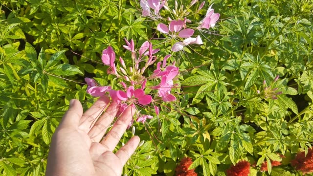 footage of hand holding cleome or spider flowers - spider flower stock videos & royalty-free footage