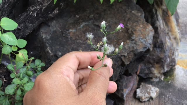 footage of hand holding emilia sonchifolia flowers - herb garden stock videos & royalty-free footage