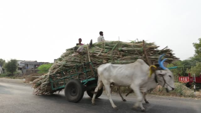 footage of laborers harvesting sugarcane and creating the sweetener jaggery during harvest in taloda maharashtra india on saturday jan 16 2016 shots... - sugar cane stock videos and b-roll footage