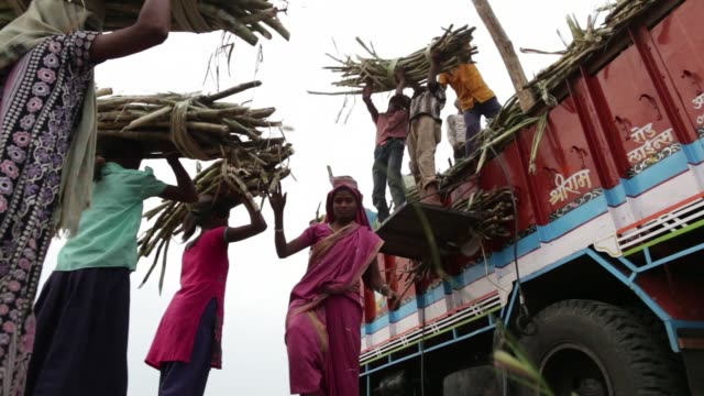 footage of laborers harvesting sugarcane in taloda maharashtra india on saturday jan 16 2016 shots wide shot of truck as workers prepare to load... - sugar cane stock videos and b-roll footage