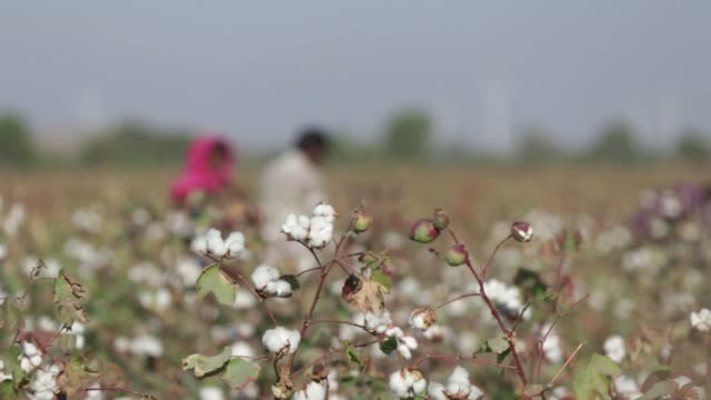 stockvideo's en b-roll-footage met footage of laborers picking cotton in cotton field in rajkot, gujarat, india on december 15, 2015. shots: shot of bags of cotton as workers harvest,... - landbouwgrond