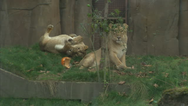 Footage of lions in captivity at the London Zoo and ZSL London Zoo signage Some of the lions can be seen playing with carved pumpkins