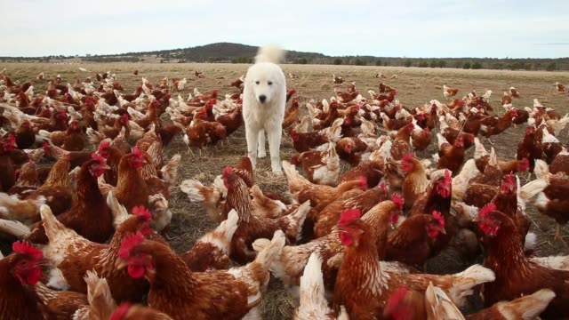 Footage of many chickens walking around a field in a rural area in Bungendore Australia on February 22 2015 Shots wide shot of hundreds of chickens...