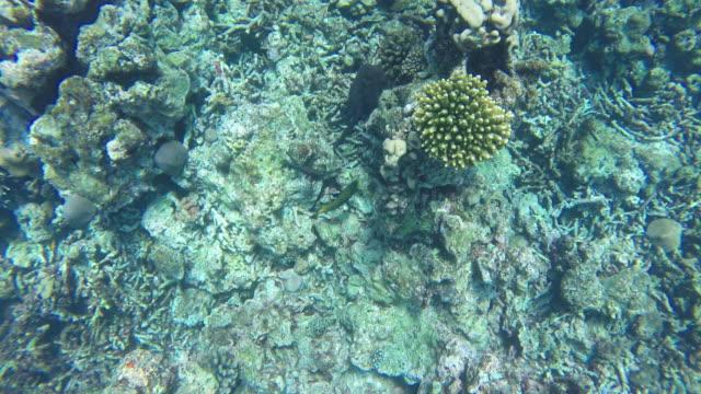 vídeos de stock, filmes e b-roll de filmagens de 4k de polvo tentando esconder para o coral no fundo do mar - camuflagem