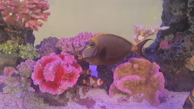 footage of orange clownfish, blue tang and marine angelfish - angelfish stock videos & royalty-free footage