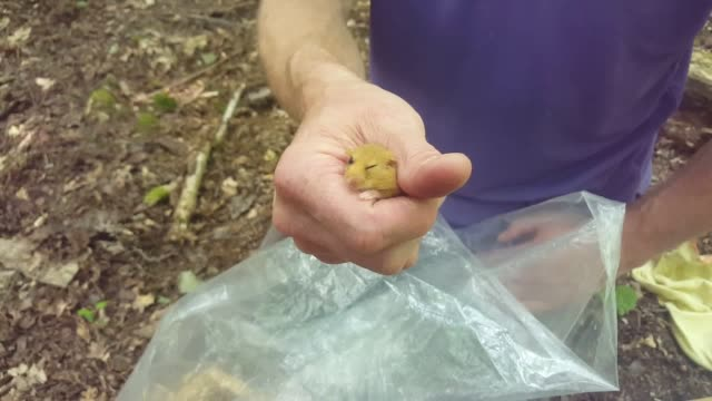 footage of rare hazel dormice being released into a warwickshire woodland in the latest effort to stem declines in the charismatic species - hazel eyes stock videos & royalty-free footage