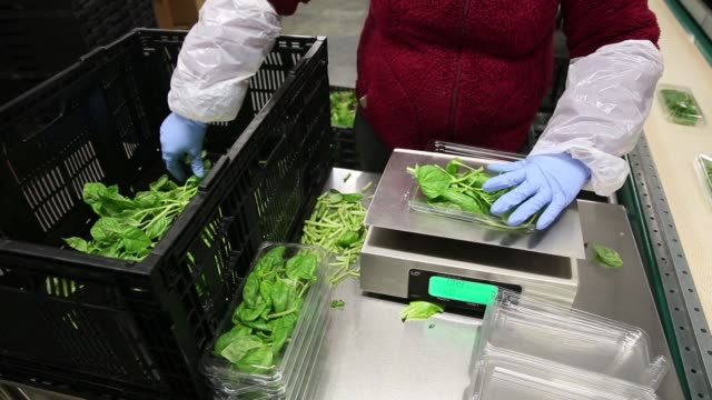 stockvideo's en b-roll-footage met footage of spinach being packaged at a brightfarms inc greenhouse in rochelle illinois us on friday may 12 2017 shots cu of gloved hands placing... - spinazie