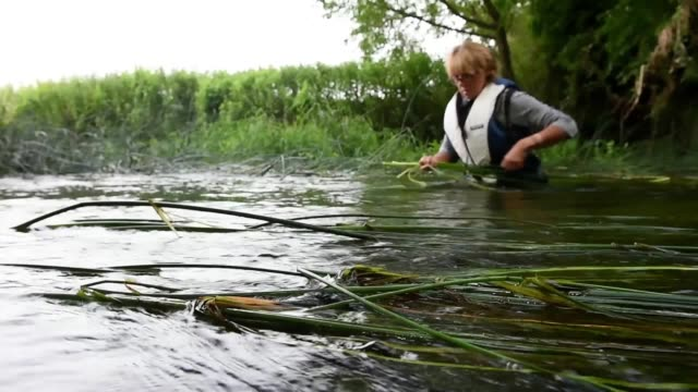footage of staff from waveney rush harvesting bulrush in the river waveney at somersfield in suffolk the plants will provide the weavers of waveney... - bulrush stock videos & royalty-free footage