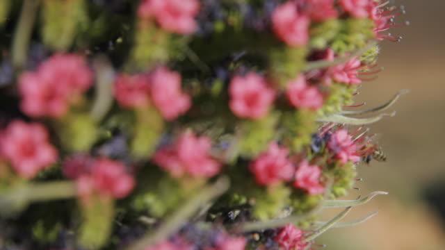 4K Footage of Tajinaste flower macro and focus on bees, at el Teide National Park, tenerife, Spain