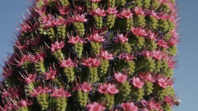 4K Footage of Tajinaste flower with bees at el Teide National Park, tenerife, Spain