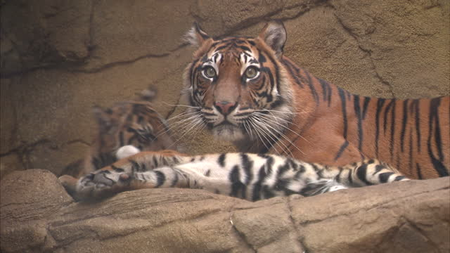 Footage of tiger and cubs in captivity at the ZSL London Zoo