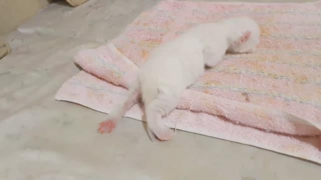 filmmaterial von tiny kitten crawling zum ersten mal - jungtier stock-videos und b-roll-filmmaterial