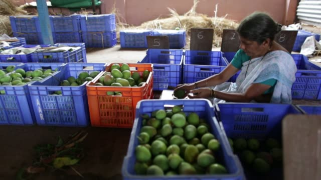 Footage of workers picking and sorting Alphonso Mangoes during a harvest in Ratnagiri Maharashtra India on Saturday May 16 2015 Shots wide shot of...