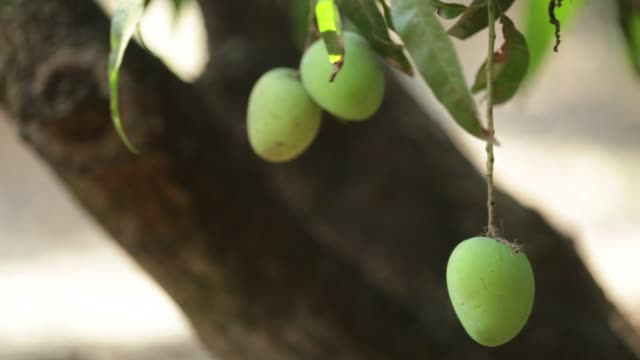 vídeos y material grabado en eventos de stock de footage of workers picking and sorting alphonso mangoes during a harvest in ratnagiri maharashtra india on saturday may 16 2015 shots cu of mano... - mango fruta tropical