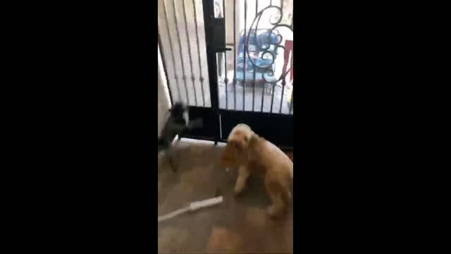 footage posted to youtube on https://www.youtube.com/watch?v=zd9u1twvqls april 24 shows three dogs bounding with anticipation as they wait to meet... - https stock-videos und b-roll-filmmaterial