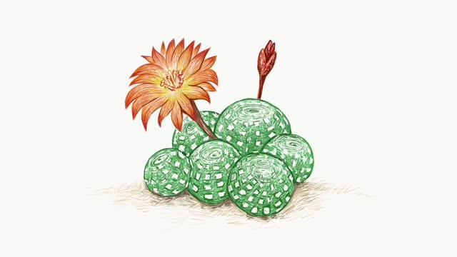 footage skizze von rebutia kaktus mit blumen - illustration stock-videos und b-roll-filmmaterial