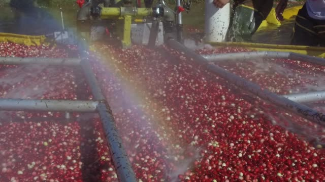 footage within a cranberry bog of the harvest process as rainbows are made visible by spraying water at cutler cranberry in camp douglas, wisconsin... - cranberry stock videos & royalty-free footage