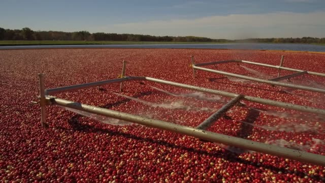 footage within a cranberry bog of the harvest process at cutler cranberry in camp douglas, wisconsin on wednesday, oct. 18, 2017. videographer:... - cranberry stock videos & royalty-free footage