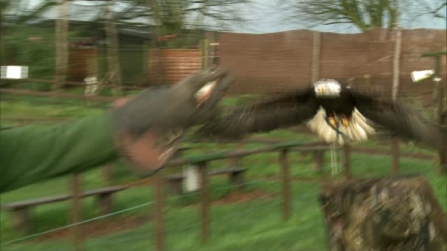 football fans save bird sanctuary in kent kent dartford kayla the bald eagle flying and landing on ames' gloved hand / ames interview sot - soccer glove stock videos and b-roll footage