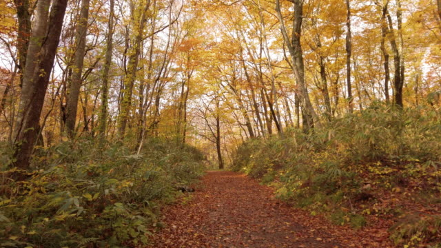 ds ws footpath in forest in autumn, shirakami-sanchi, tsugaru quasi-national park, aomori prefecture, japan - ドリー撮影点の映像素材/bロール