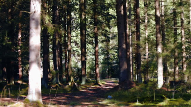 footpath in pine forest - pinaceae stock videos & royalty-free footage