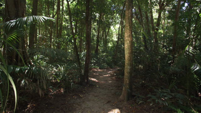 vidéos et rushes de ms, footpath in tropical rainforest, mossman, queensland, australia - végétation tropicale