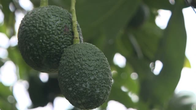 for many guacamole is synonymous with the super bowl and as this year's championship match approaches hundreds of thousands of tonnes of avocados are... - michoacán video stock e b–roll