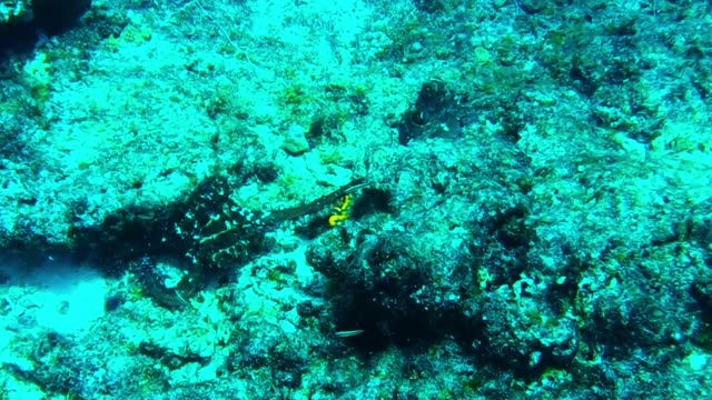 for scuba divers, it is a rare and wonderful treat to see an octopus out in the open. they are nocturnal hunters that prefer seclusion, and venturing... - aqualung diving equipment stock videos & royalty-free footage