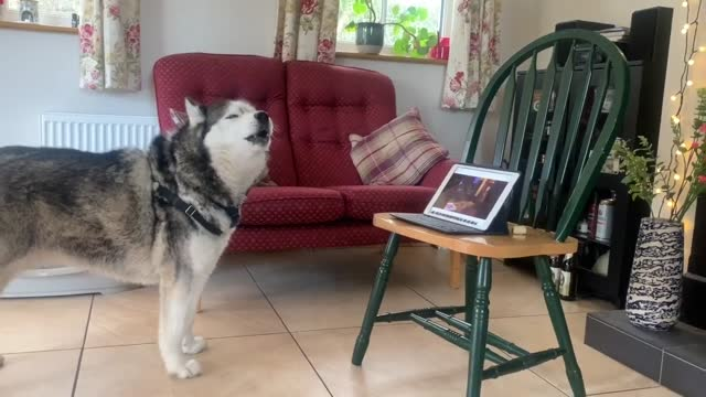 for sociable dogs, lockdown life can be lonely. but a few lucky pooches might have an owner like jeremy howard, who set up a zoom call between his... - friendship stock videos & royalty-free footage