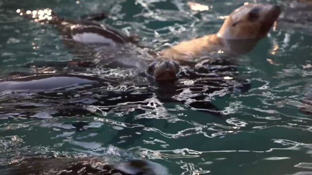 for the third winter in a row, hundreds of sick and starving california sea lions are washing up on california shores, with over 1,800 found and... - seal pup stock videos & royalty-free footage