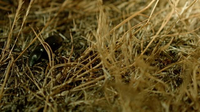 foraging and exploring macro feelers 2 large desert beetles at night oregon 83 - foraging stock videos & royalty-free footage