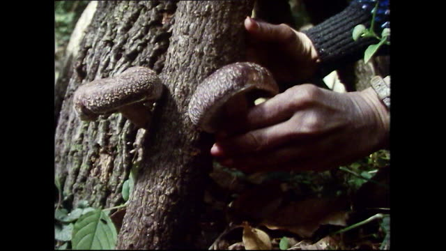 cu foraging for shiitake mushrooms with basket; 1989 - choosing stock videos & royalty-free footage