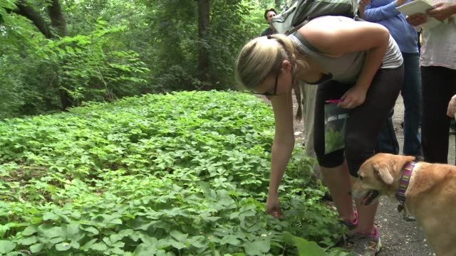 foraging for wild edible plants and berries is becoming a popular pastime in new york with several restaurants now selling dishes that can be sourced... - foraging stock videos & royalty-free footage