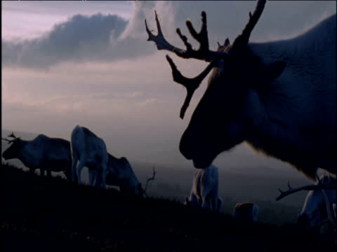 foraging herd of reindeer at dusk - foraging stock videos and b-roll footage